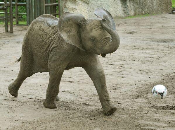 Una cría de elefante, a punto de marcar un gol en el zoológico Serengeti-Park, en Alemania. - Sputnik Mundo