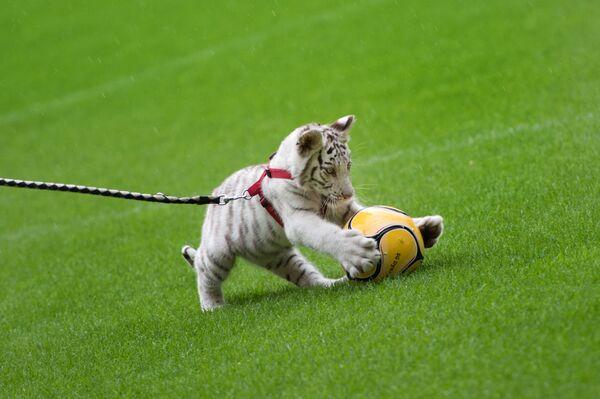 El nuevo artista del legendario circo alemán Sarrasani, un cachorro de tigre blanco, aparece en público por primera vez. - Sputnik Mundo