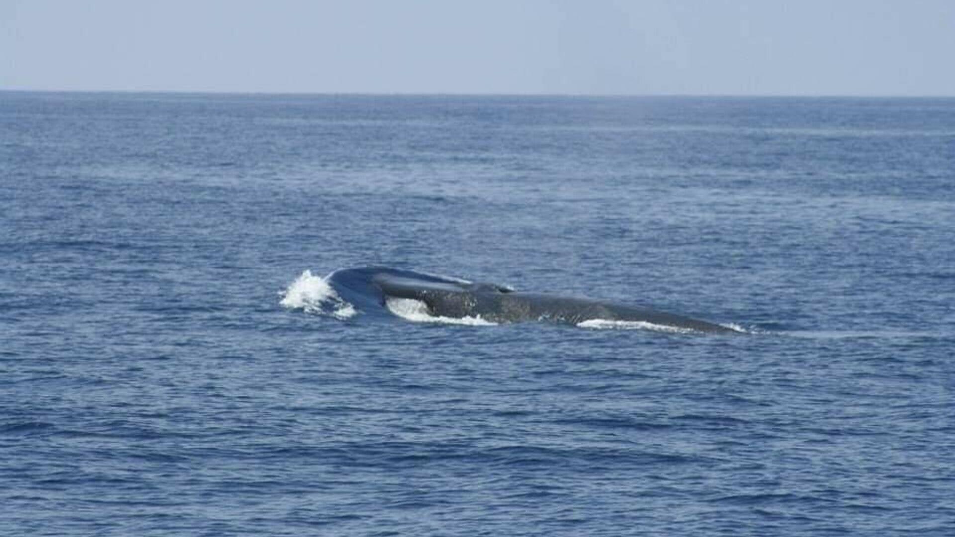 La ballena aleta, vista en cabo de Palos, puede tener una longitud de hasta 24 metros - Sputnik Mundo, 1920, 01.07.2021