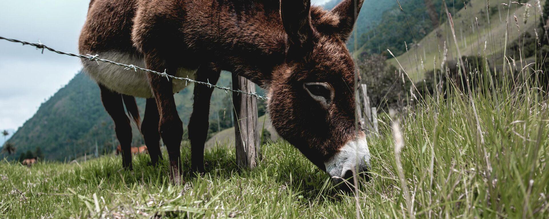 Un burro en el valle de Cócora, departamento de Quindío - Sputnik Mundo, 1920, 01.07.2021