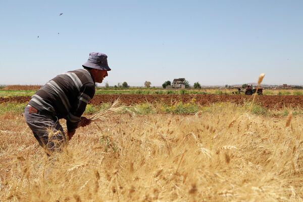 La cosecha de trigo en Siria - Sputnik Mundo