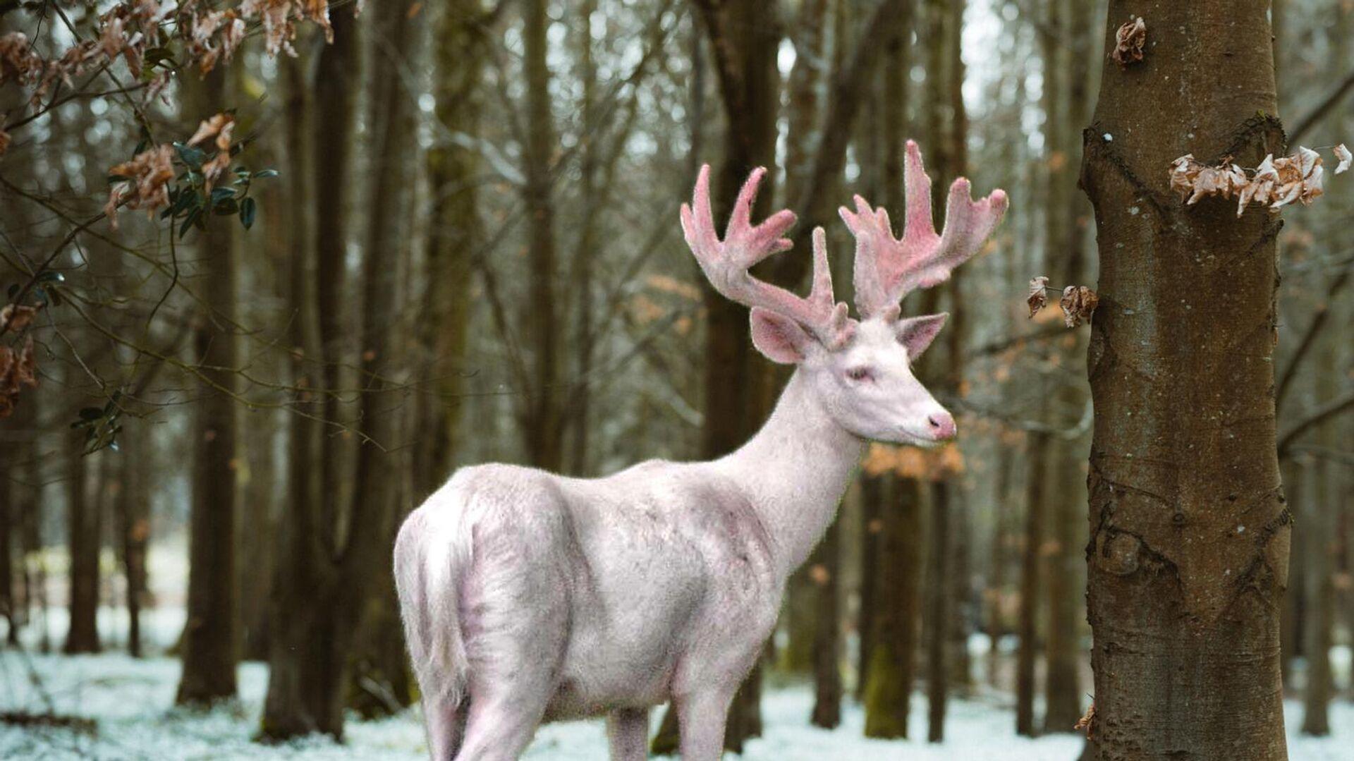 Imagen referencial de un ciervo blanco - Sputnik Mundo, 1920, 09.07.2021