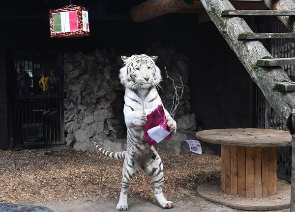 El tigre de Bengala apodado Jan, del mismo parque, ya pronosticó la victoria de los ingleses en el partido final de la Eurocopa.  - Sputnik Mundo