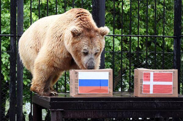 El oso apodado Pamir, del parque de flora y fauna Royev Ruchey en la ciudad rusa de Krasnoyarsk, se equivocó al apostar por la selección eslava en un partido de la fase de grupos entre Rusia y Dinamarca.  - Sputnik Mundo