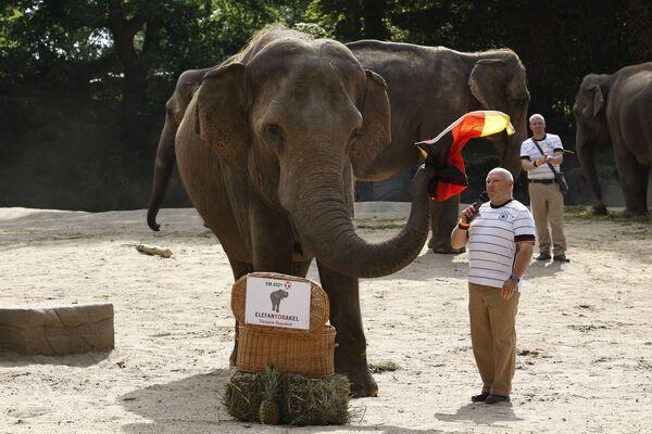 El favorito de la elefanta Yashoda, del zoo Tierpark Hagenbeck de Hamburgo, en un partido de octavos de final entre Alemania y el Reino Unido fue la selección alemana. No obstante, antes de este pronóstico fallido, Yashoda había acertado los resultados de tres partidos de Alemania en la Eurocopa 2020, aseguran los empleados del zoo.   - Sputnik Mundo