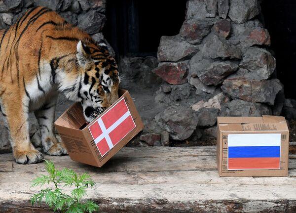 Pero otro habitante de Royev Ruchey, el tigre siberiano Bartek, auguró la victoria de la selección danesa en el mismo partido. - Sputnik Mundo