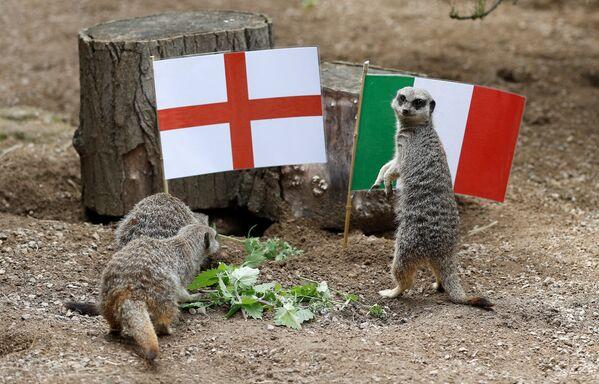 Las suricatas del zoo ZSL de Londres también pronostican los resultados de los partidos. En la foto aparecen cerca de las banderas del Reino Unido e Italia antes de la esperada final de la Eurocopa. - Sputnik Mundo