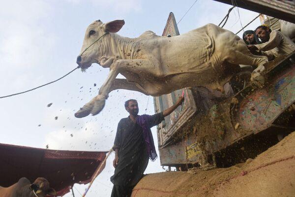 Unos comerciantes desembarcan el ganado en un mercado inaugurado antes de la fiesta Eid al-Adha en Karachi, Pakistán.  - Sputnik Mundo