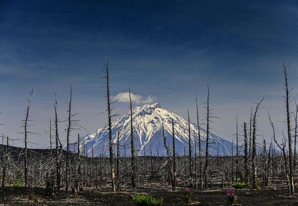 El volcán se eleva sobre sus 'víctimas'. El bosque arruinado está en silencio, de Pável Karasiov, muestra el volcán Tolbachik, ubicado en Kamchatka. El denominado bosque muerto es un territorio a las afueras del monte que ha estado cubierto de cenizas y lava desde la catastrófica erupción ocurrida en 1975. - Sputnik Mundo