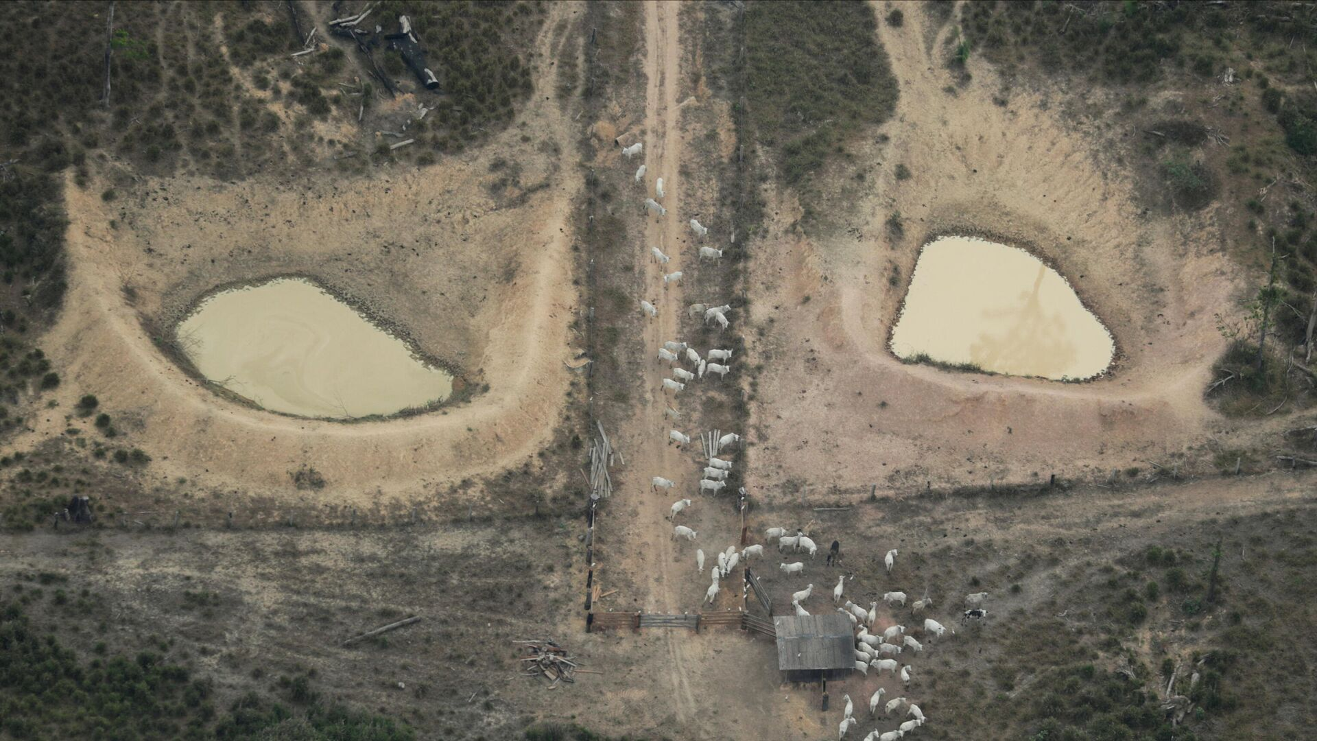 Una vista aérea muestra un ganado en una parcela deforestada amazónica cerca de Porto Velho, estado de Rondonia, Brasil, 14 de agosto de 2020/ Foto de archivo - Sputnik Mundo, 1920, 09.07.2021