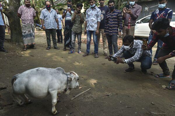 De momento, el récord de la vaca más pequeña de nuestro planeta pertenece a Manikyam, un animal del país vecino, la India, que mide 61,1 centímetros. - Sputnik Mundo