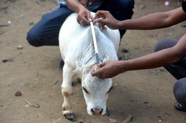 El dueño de Rani, Hasan Howladar, se puso en contacto con el Libro Guinness de los Récords pues cree que la suya es la vaca más pequeña del mundo. Los representantes de la organización deben visitar la granja en los próximos días para medir al animal. - Sputnik Mundo