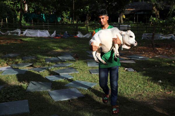 Con poco menos de dos años, Rani tiene dificultades para desplazarse, por lo que a menudo es cargada por su dueño. El animal, además, tiene miedo a las otras vacas en la granja donde vive, por lo que se la mantiene separada del resto del rebaño. - Sputnik Mundo