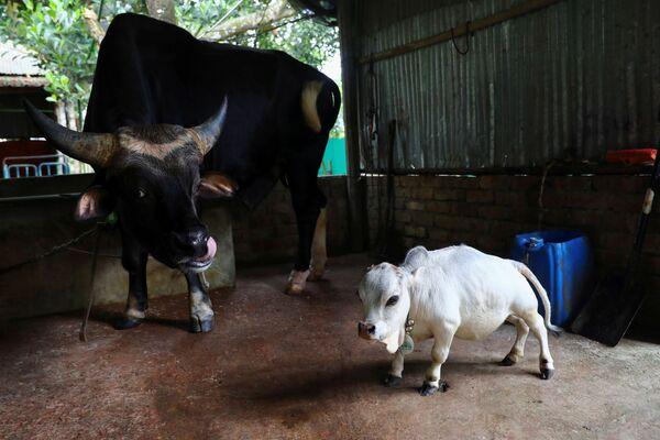 Se cree que el tamaño de Rani probablemente se deba al hecho de que es un producto de la endogamia. Es decir, ella nació del apareamiento de animales estrechamente relacionados genéticamente. - Sputnik Mundo