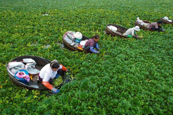 La cosecha de castañas de agua en Taizhou, China. - Sputnik Mundo