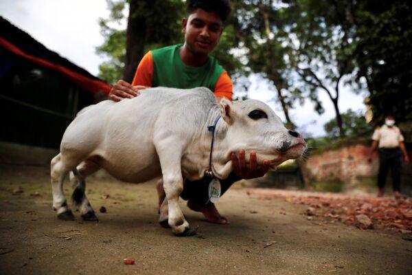 La vaca más pequeña del mundo en una granja de Bangladés. - Sputnik Mundo