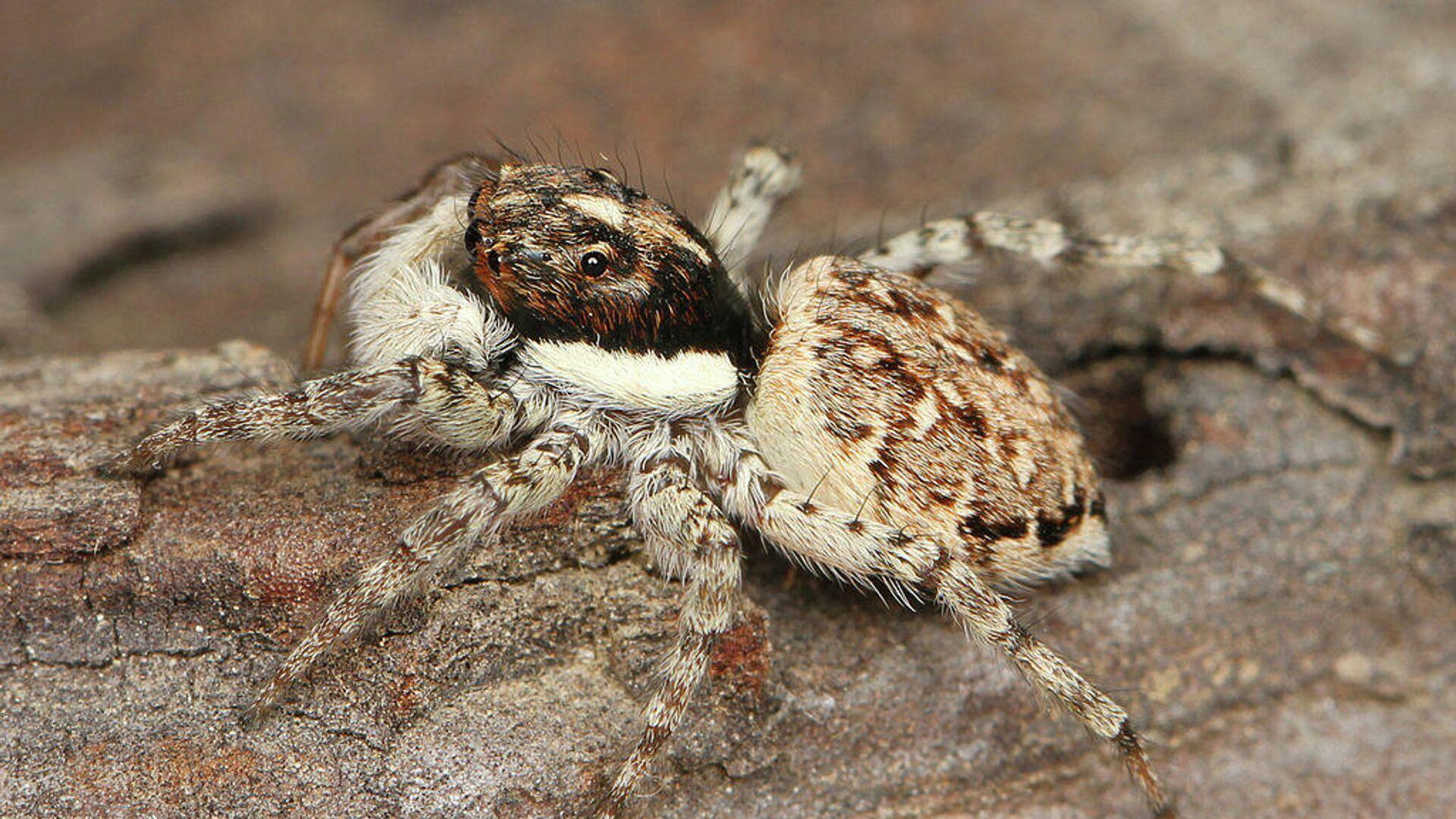 Una araña 'Menemerus semilimbatus' - Sputnik Mundo, 1920, 16.07.2021