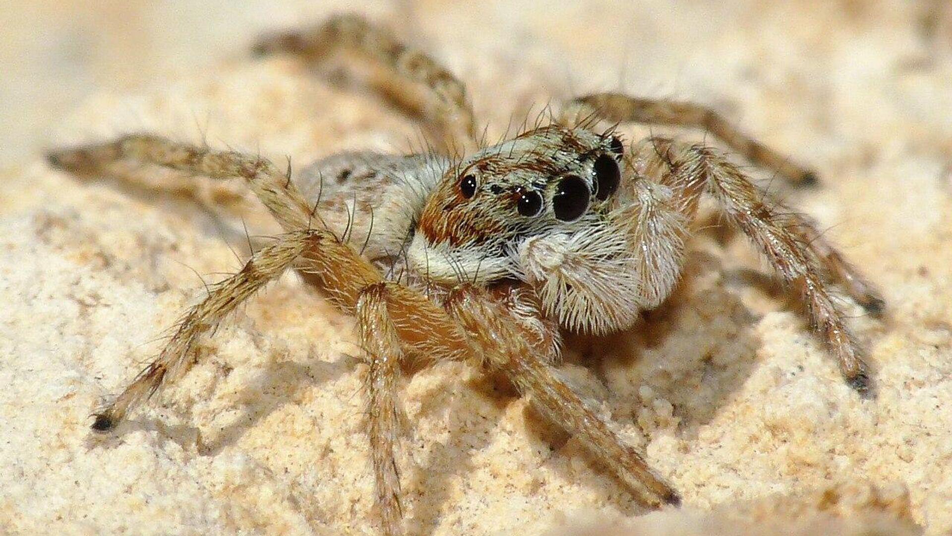 Una araña del género 'Menemerus semilimbatus' - Sputnik Mundo, 1920, 16.07.2021