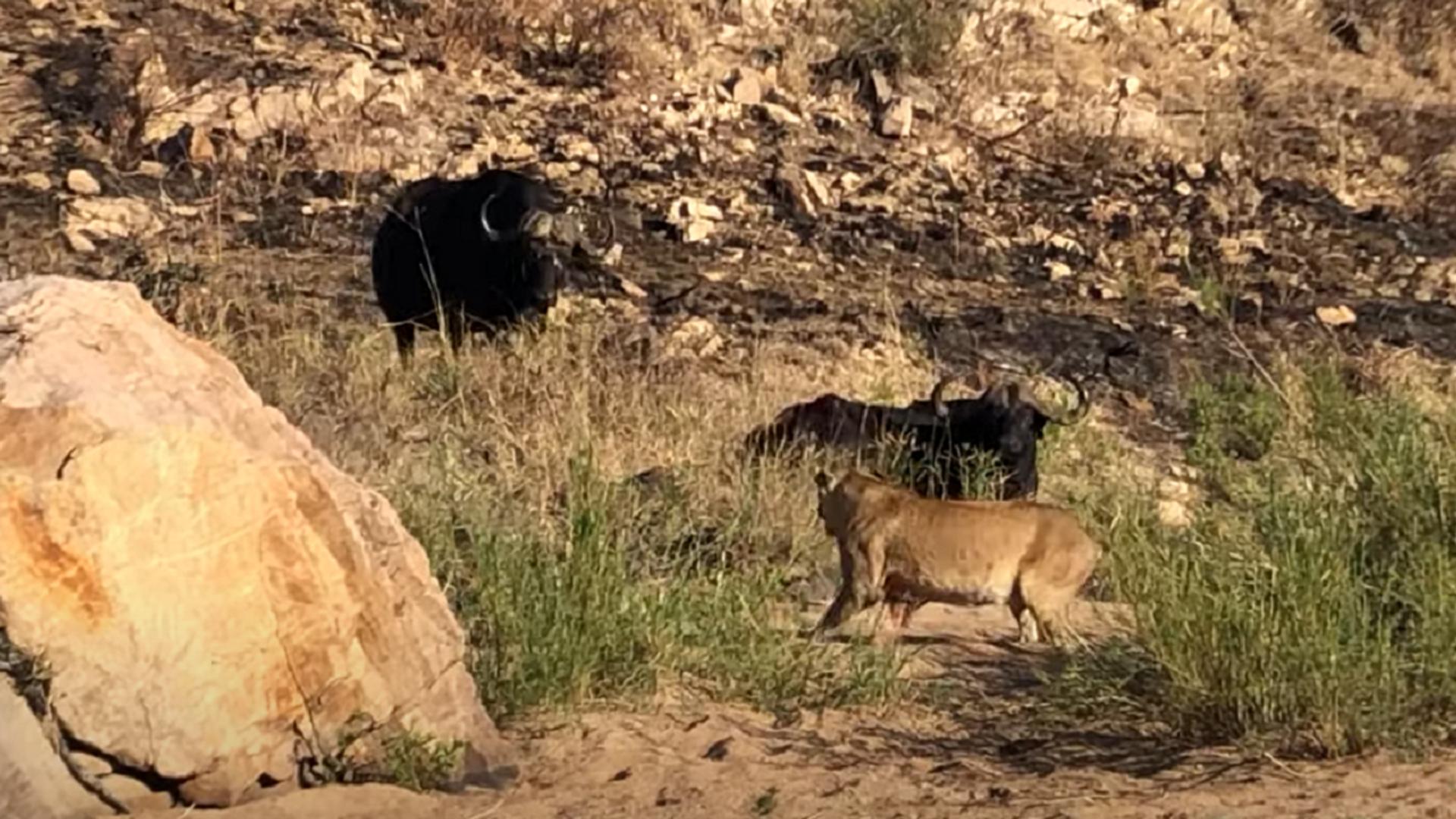 Unos leones se comen a un búfalo que pedía auxilio - Sputnik Mundo, 1920, 17.07.2021