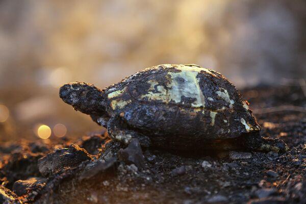 Los animales también han resultado afectados por las altas temperaturas que han desatado los incendios forestales en Turquía. En la foto: una tortuga tras los incendios forestales en Turquía. - Sputnik Mundo