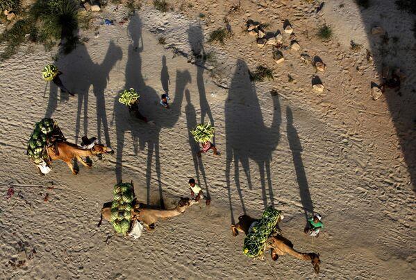Unos granjeros indios transportan la cosecha de sandías en camellos. - Sputnik Mundo