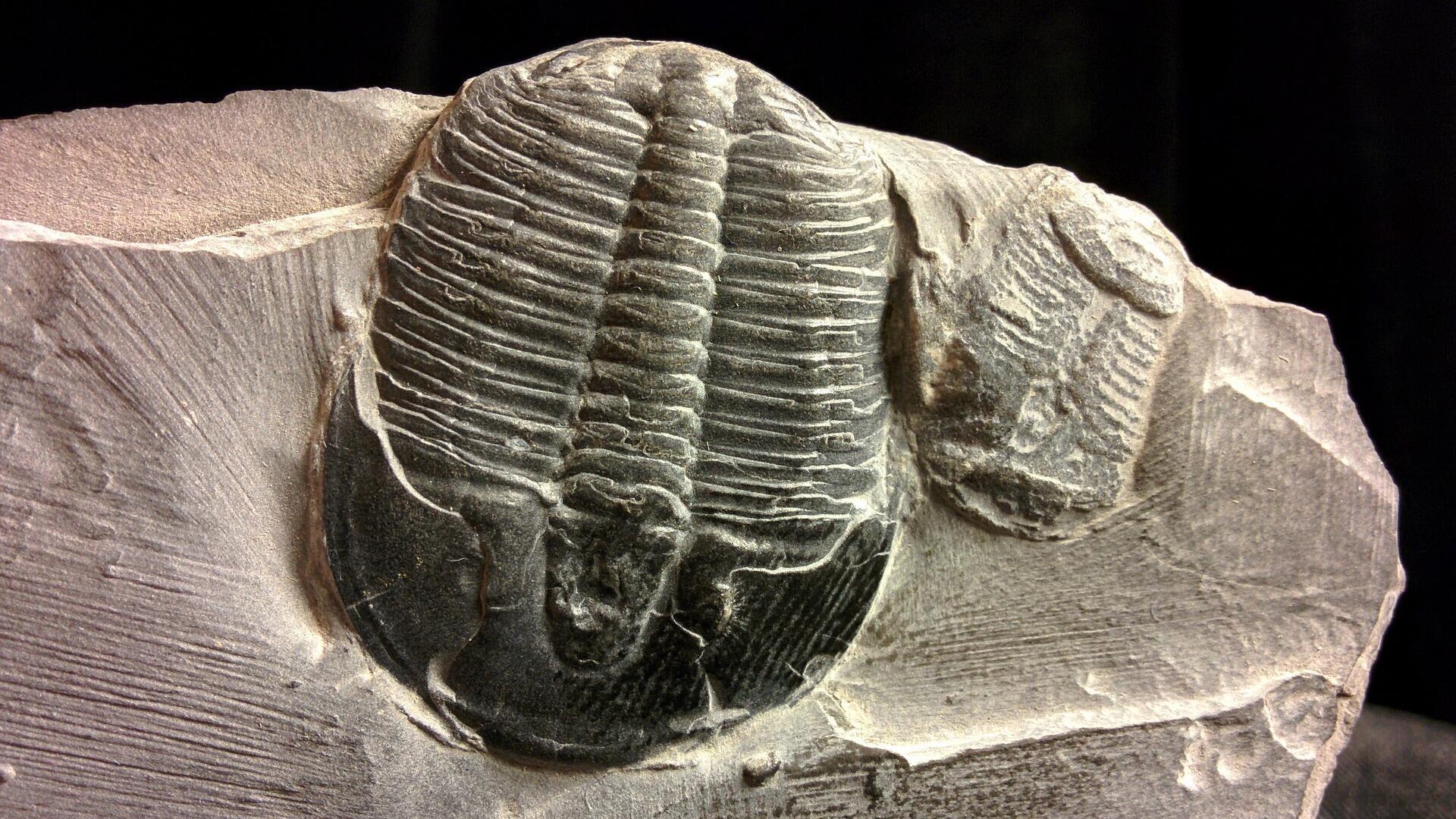 Un trilobites, imagen referencial - Sputnik Mundo, 1920, 04.08.2021