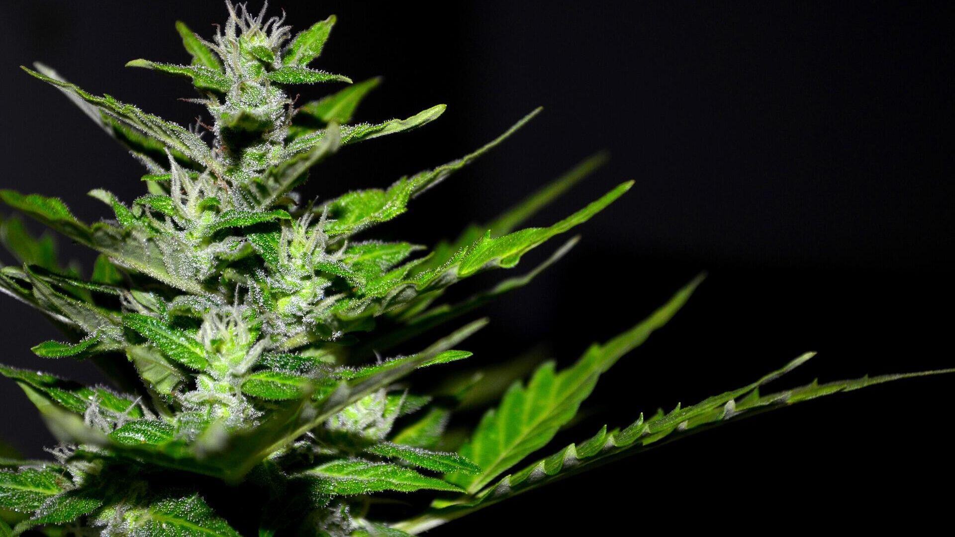 Cannabis (imagen referencial) - Sputnik Mundo, 1920, 05.08.2021