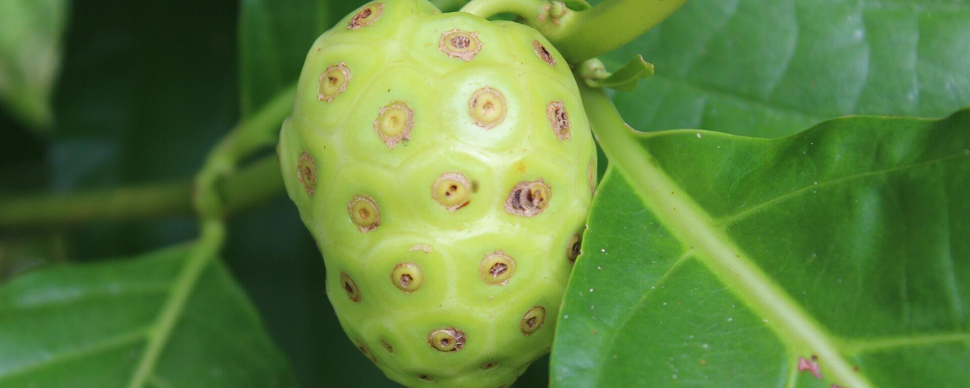 Noni, la exótica fruta proveniente de la polinesia  - Sputnik Mundo, 1920, 09.08.2021