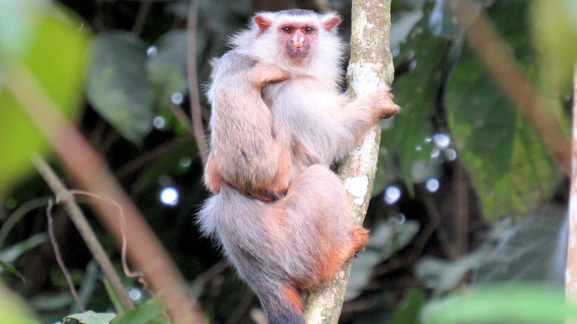 Mico schneideri, nueva especie de primate identificada en Brasil - Sputnik Mundo, 1920, 13.08.2021