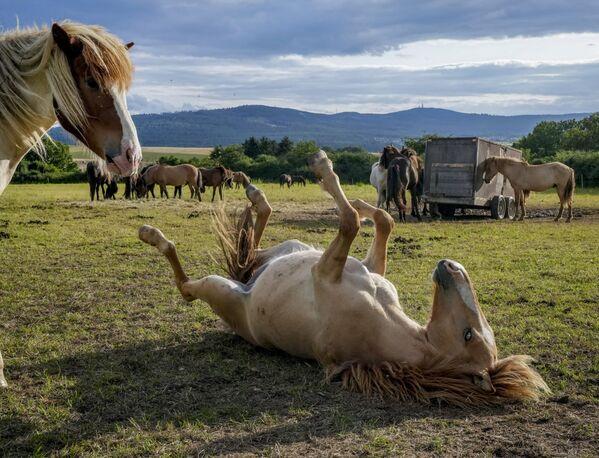 Unos caballos islandeses juegan cerca de Fráncfort (Alemania) el 9 de agosto. - Sputnik Mundo
