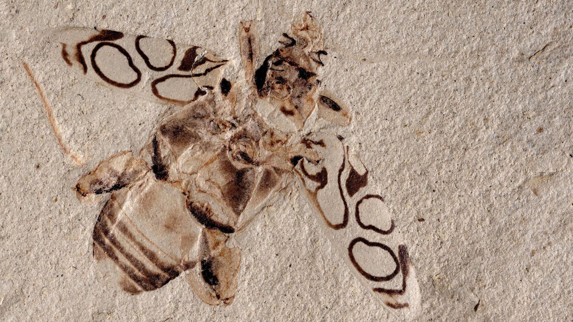 El fosil del escarabajo Pulchritudo attenboroughi  - Sputnik Mundo, 1920, 15.08.2021