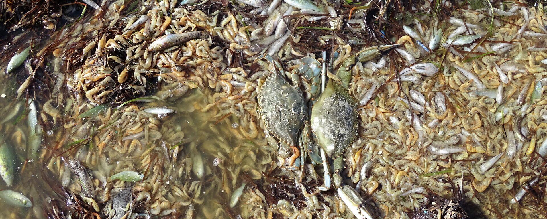 Peces muertos en una playa del Mar Menor en 2019 - Sputnik Mundo, 1920, 16.08.2021