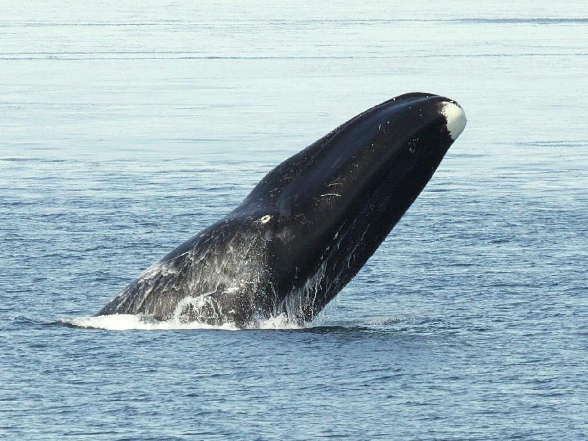 Una ballena de Groenlandia - Sputnik Mundo, 1920, 17.08.2021