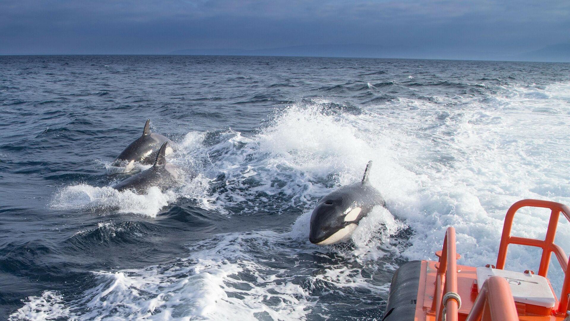 Orcas en el océano Atlántico  - Sputnik Mundo, 1920, 20.08.2021