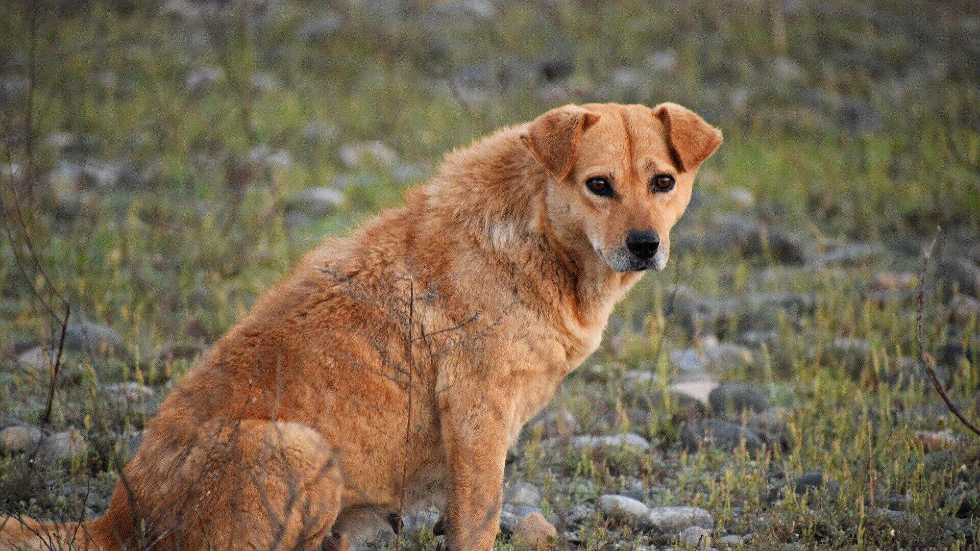 Un perro callejero (imagen referencial) - Sputnik Mundo, 1920, 21.08.2021