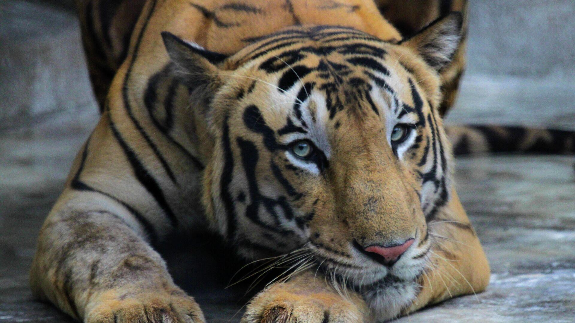 Un tigre en un zoo en la India - Sputnik Mundo, 1920, 21.08.2021