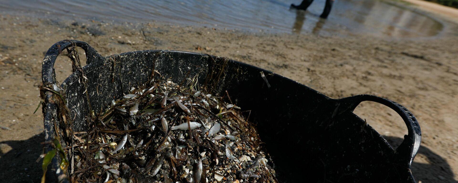 Una persona recoge ejemplares de peces muertos que han aparecido en varias zonas del Mar Menor - Sputnik Mundo, 1920, 24.08.2021