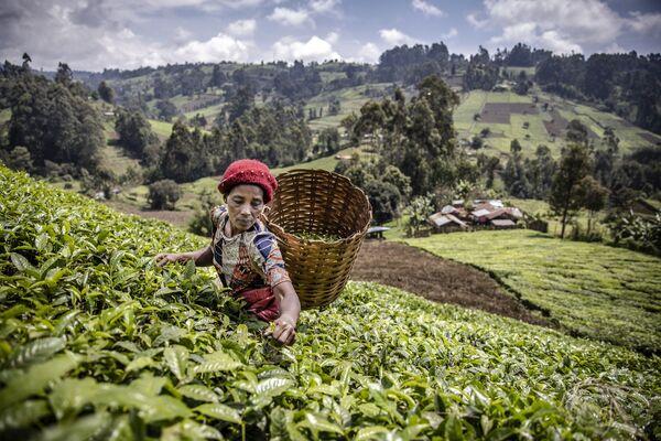 Una mujer recogiendo hojas de té en una plantación de Kenia. - Sputnik Mundo