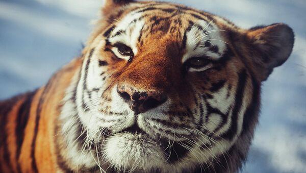 Tigre del Amur - Sputnik Mundo