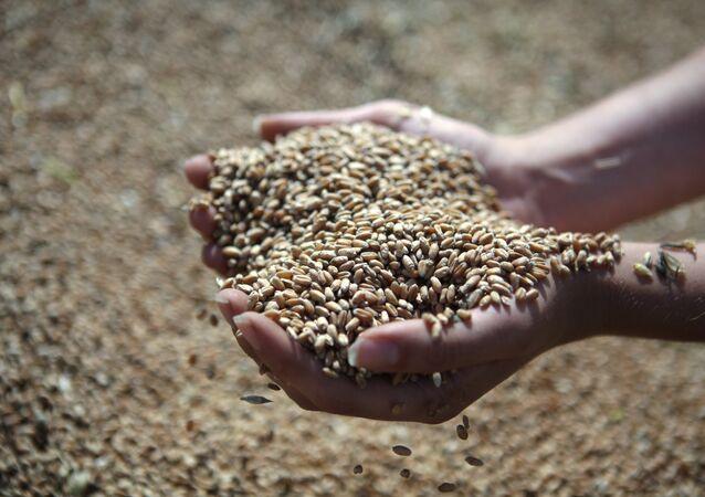 Rusia estima exportar hasta 30 millones de toneladas de grano en este año agrícola