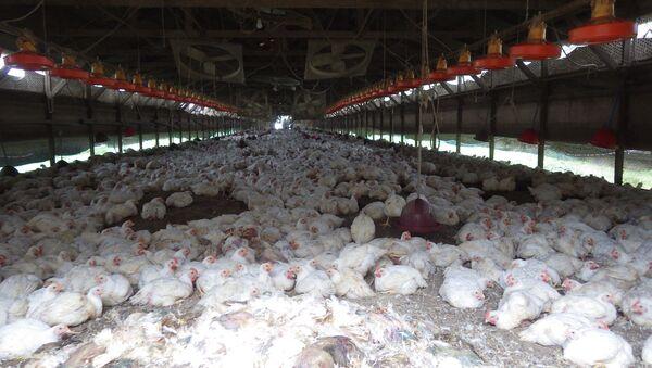 Taiwán eliminará 120.000 gallinas para combatir la gripe aviar - Sputnik Mundo