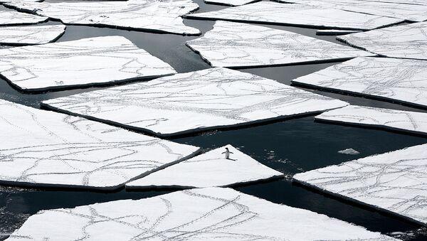 Un pingüino en la Antártida - Sputnik Mundo