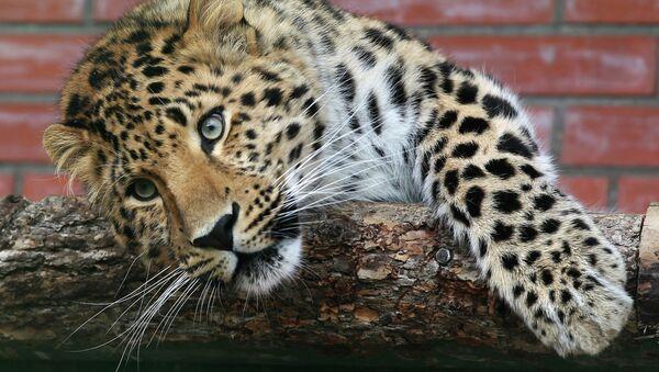 Leopardo del Amur - Sputnik Mundo