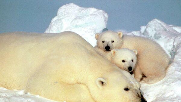 Un oso polar descansa con sus cachorros en el hielo de Alaska, EEUU - Sputnik Mundo