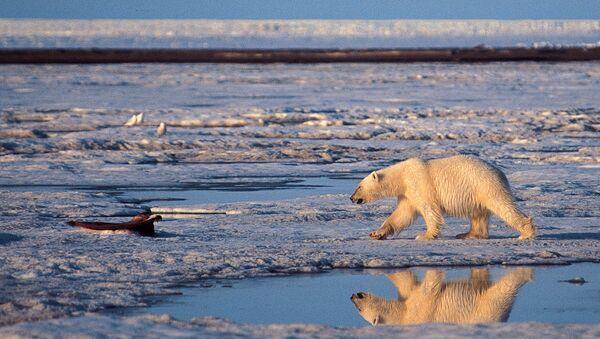 Un oso polar en el Ártico - Sputnik Mundo