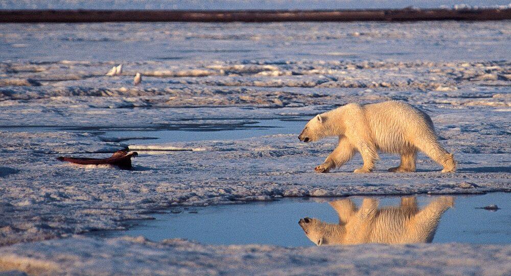 Oso polar camina en hielo derretido