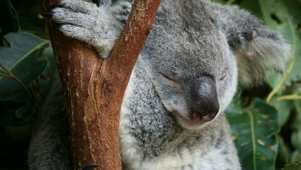 Koala - Sputnik Mundo