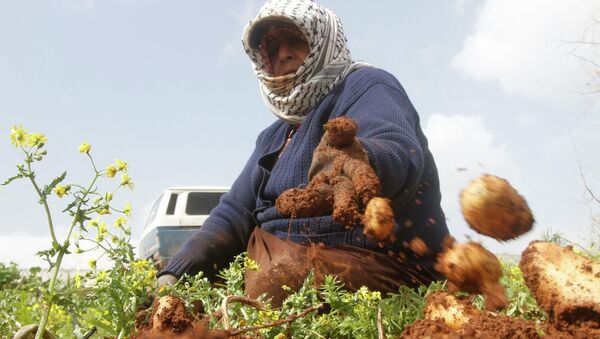 A Palestinian woman collects potatoes during harvest at a field in the West Bank village of Al-Faraa near Jenin February 25, 2015. - Sputnik Mundo