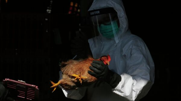 A health worker in full protective gear places a live chicken in a rubbish bin as he starts culling all chickens by using carbon dioxide at a wholesale poultry market in Hong Kong, Wednesday, Dec. 31, 2014.  - Sputnik Mundo