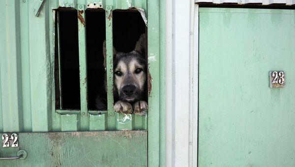Мероприятия по отлову, вакцинации, стерилизации и возврату на прежнее место бездомных собак в Санкт-Петербурге - Sputnik Mundo